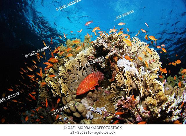 Coral reef and exhuberant marine life in Zabargad island, south of Egypt