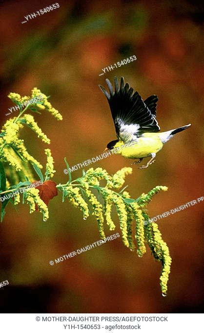 Male American Goldfinch (Carduelis tristis landing on Goldenrod (Solidago) for seeds in autumn, Vermont, USA