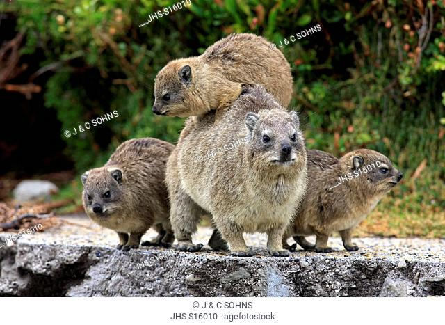 Rock Dassie, (Procavia capensis), mother with three youngs, Betty's Bay, Western Cape, South Africa, Africa