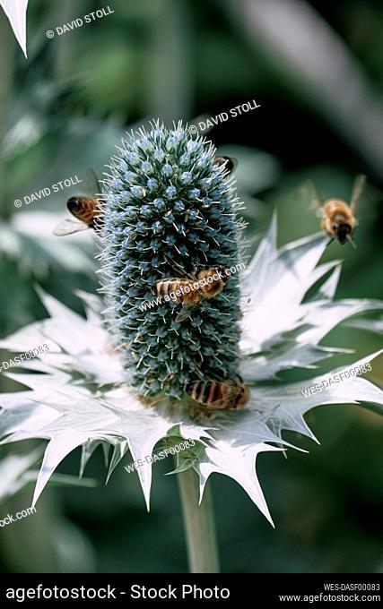 Bees flying around Miss Willmotts ghost (Eryngium giganteum) plant
