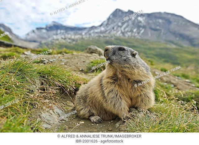 Marmot (Marmota marmota), Nationalpark Hohe Tauern national park, Austria, Europe