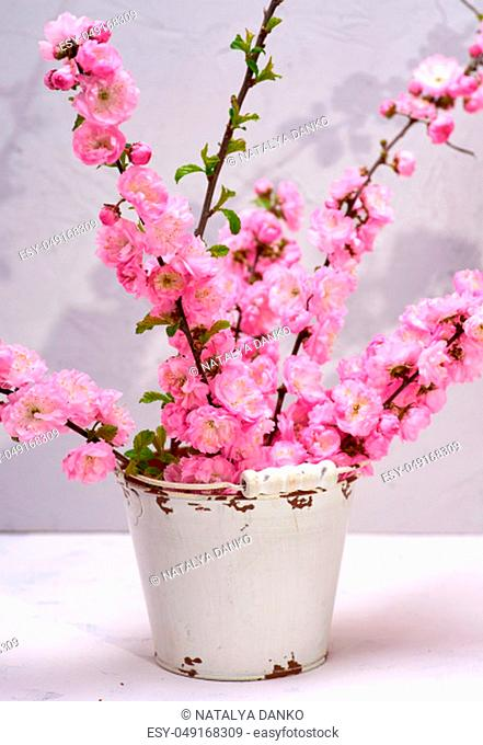 branches with pink flowers Louiseania triloba on a white background, close up