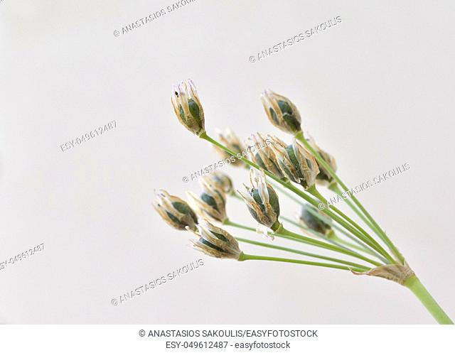 Slender false garlic or Onion Weed (Nothoscordum gracile)