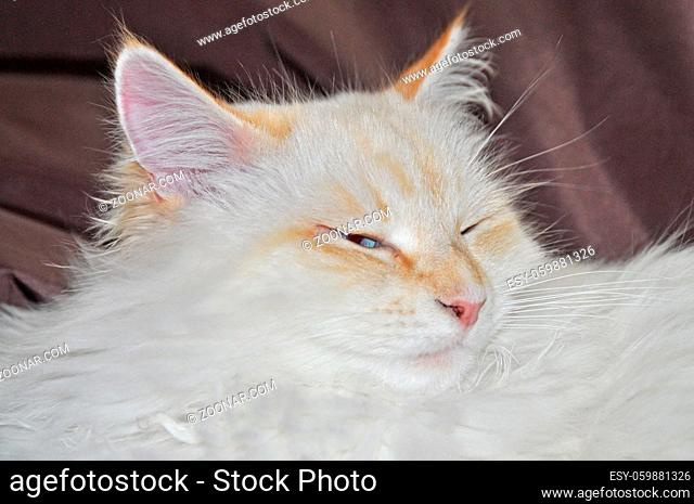 sibirische waldkatze, katze, haustier, tier, geicht, kopf, jung, jungtier, portrait, nah, nahaufnahme, fell, weiß, grau, bräunlich