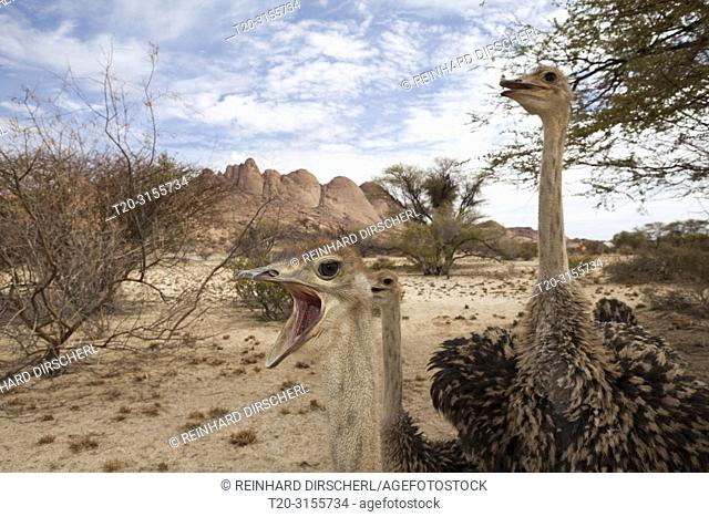 South African Ostrich, Struthio camelus australis, Spitzkoppe, Namibia