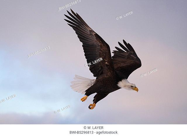 American bald eagle (Haliaeetus leucocephalus), foraging, USA, Alaska, Kenai