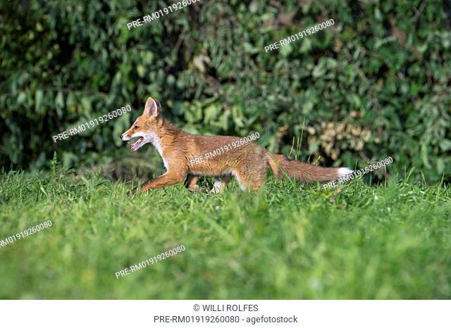 Juvenile Red Fox, Vulpes vulpes, Vechta district, Niedersachsen (Lower Saxony), Germany / Junger Rotfuchs, Vulpes vulpes, Landkreis Vechta, Niedersachsen