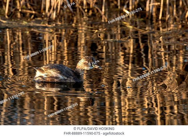 Little Grebe in winter plumage with food item in bill