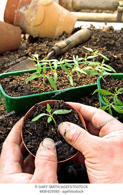 Tomato seedling (variety 'ailsa craig') being potted in in greenhouse, UK,  March