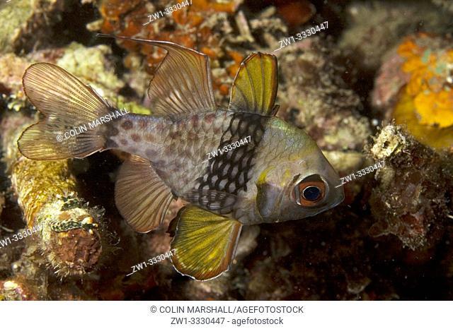 Pajama Cardinalfish (Sphaeramia nematoptera, Apogonidae family), Lembeh Island Resort House Reef dive site, Lembeh Straits, Sulawesi, Indonesia