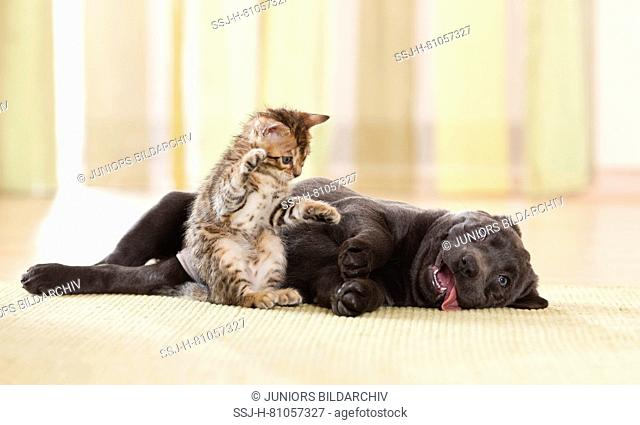 Labrador Retriever and Bengal Cat. Puppy and kitten playing. Germany