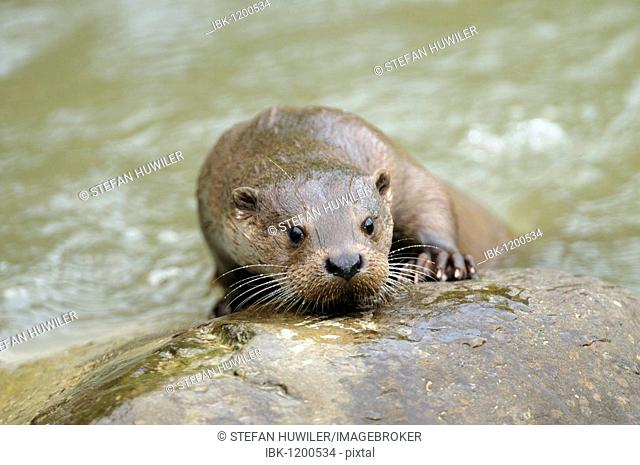 Portrait of a European Otter (Lutra lutra)