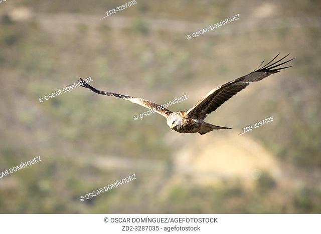 Red Kite (Milvus milvus) in flight. Pre-Pyrenees. Lleida province. Catalonia. Spain