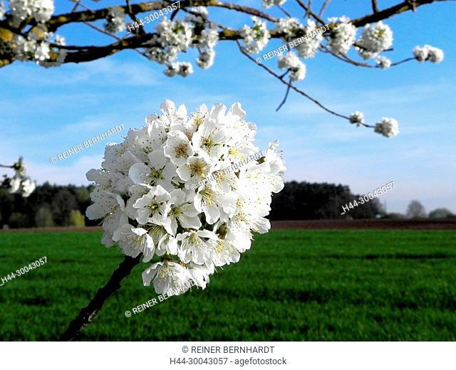 Prunus avium, to sweet cherry, rose-like, rose plants, stone fruit plants, blossoms, cherry flowers, efflorescence, fruit-tree