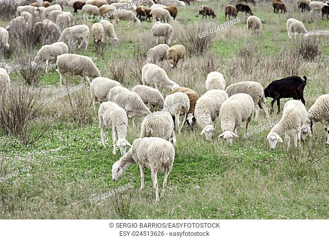 Flock of sheep in nature, animals by feeding mammals, wildlife. in Spain