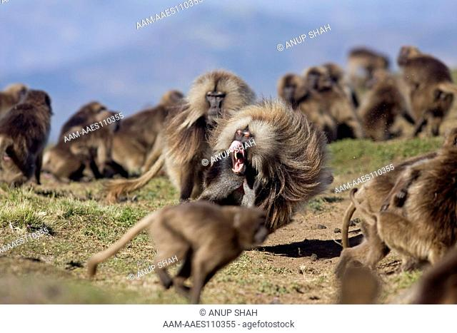 Gelada males (Theropithecus gelada) fighting. Simien Mountains National Park, Ethiopia. Nov 2008