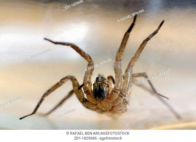 A female wolf spider