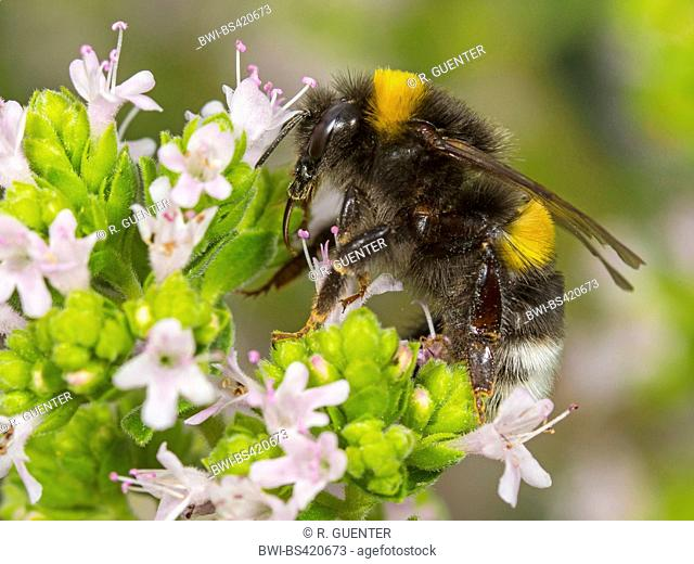 white-tailed bumble bee (Bombus lucorum), White-tailed bumblebee worker foraging on Majoram, Germany