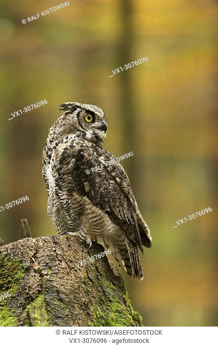Great Horned Owl / Tiger Owl (Bubo virginianus) perched on a tree stump, looks back, surrounded by an autumnal broadleaf forest. .
