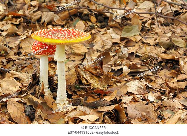 Young and mature Fly Agaric (Amanita muscaria) mushrooms growing in a forest. Poland, The Holy Cross Mountains