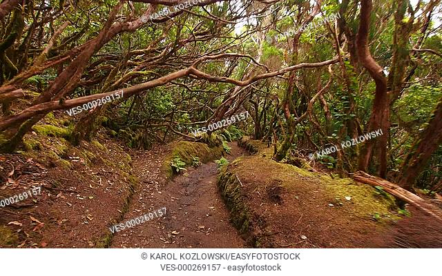 El Pijaral – La Ensillada – Cabeza de Tejo, walking through Bosque Encantado in Anaga Forest on Tenerife, Canary Islands, Spain