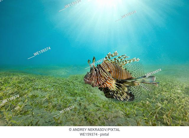 poisonous fish Red Lionfish (Pterois volitans) swim over bottom with sea grass in shallow water