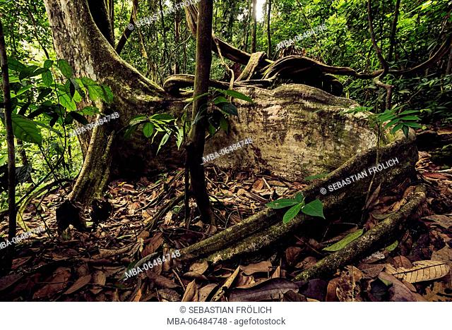 Tropical tree with big aerial root in the thick jungle of Sumatra, Indonesia