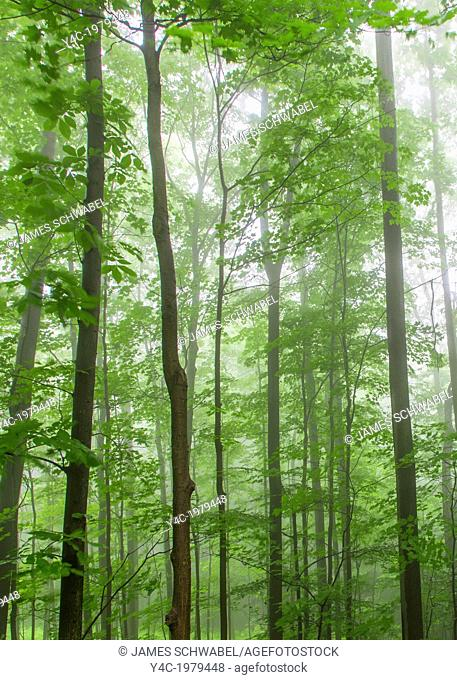 Fog in tress in green spring forest in Western New York state
