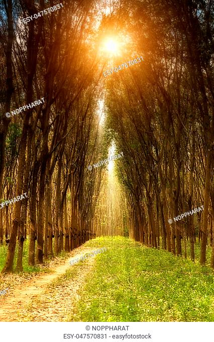 landscape of rubber trees with sunlight