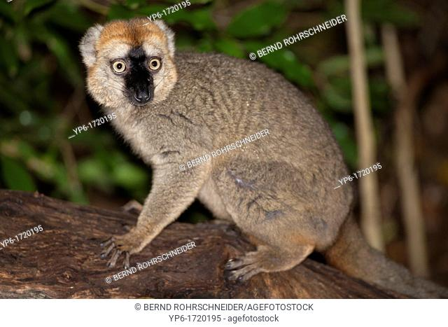 Red-fronted Brown Lemur Eulemur rufifrons sitting on stem, Berenty, Madagascar