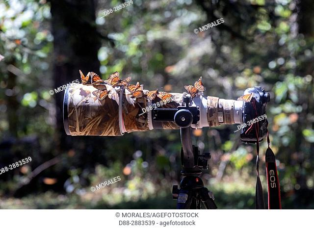 Central America, Mexico, State of Michoacan, Angangueo, Reserve of the Biosfera Monarca El Rosario, wildlife photography in the reserve for the monarch...
