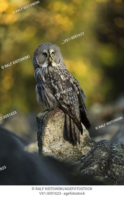 Great Grey Owl (Strix nebulosa) perched on a rock, first morning light, in front of autumnal colored woods