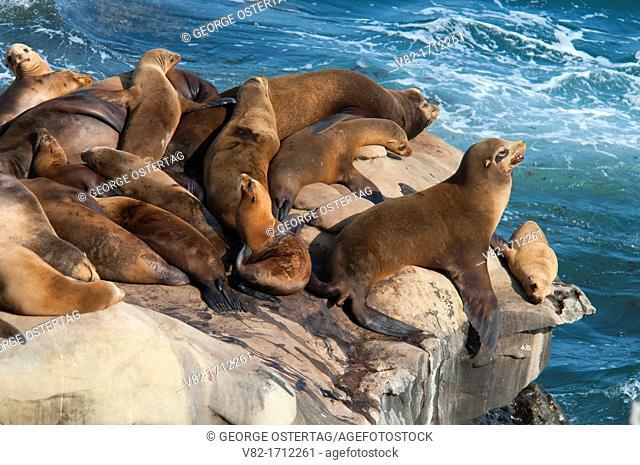 California sea lions Zalophus californianus, Ellen Browning Scripps Marine Park, La Jolla, California