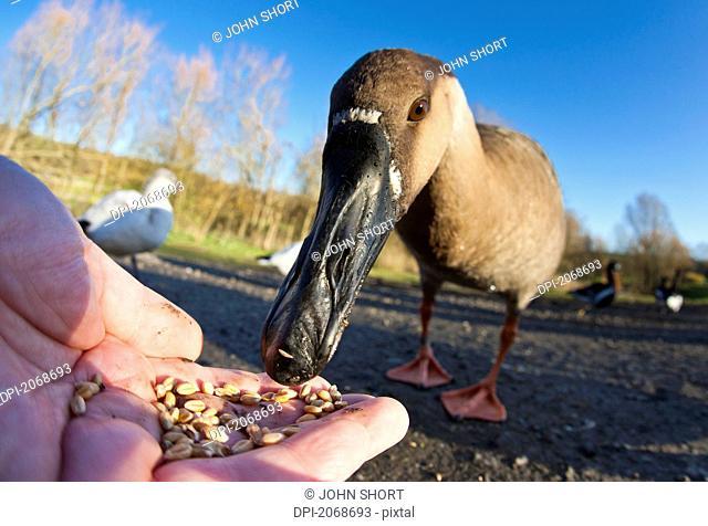 A Bird Eating Seed Out Of A Hand, Washington Tyne And Wear England
