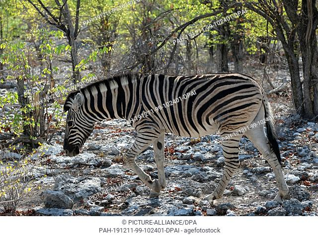 28 November 2019, Namibia, Etosha-Nationalpark: A zebra goes through the bush in Etosha National Park. Photo: Oliver Berg/dpa