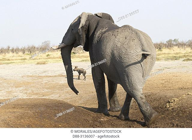 Africa, Southern Africa, Bostwana, Savuti National Park, African bush elephant or African savanna elephant (Loxodonta africana), near the water hole with lycaon