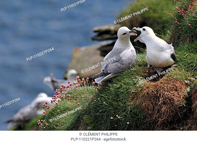 Northern Fulmars / Arctic Fulmars Fulmarus glacialis calling from nest on cliff face in the Fowlsheugh nature reserve, Scotland, UK