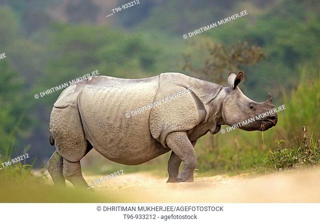 Asian One-horned Rhinoceros Rhinoceros unicornis crossing the road