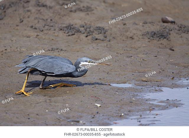 Western Reef Heron (Egretta gularis) dark morph, adult, hunting on mud at edge of water in mangrove swamp, Gambia, February