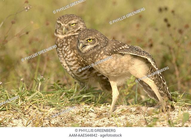 Burrowing Owl (Athene cunicularia) Marco Island, FL 4/06 Digital capture
