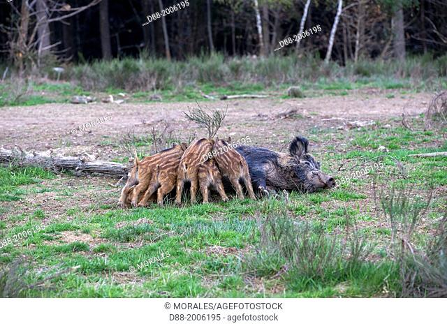 France, Haute Saone, Private park , Wild Boar ( Sus scrofa ) , sow and babies ( piglets )
