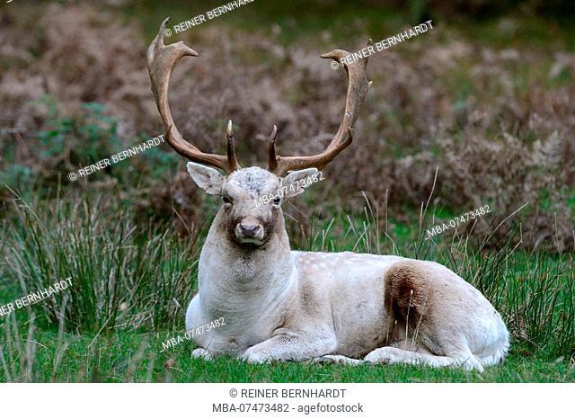 Fallow deer, white fallow deer