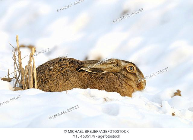 European brown hare, Lepus europaeus, Hesse, Germany, Europe