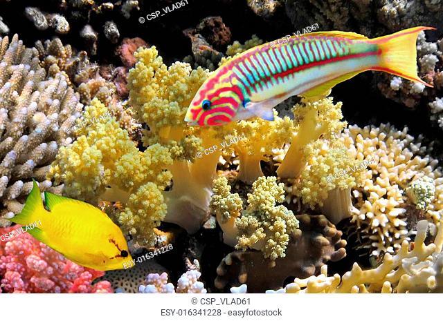 Thalassoma Klunzingeri (Klunzinger's Wrasse) and Coral rabbitfish (siganus corallinus)