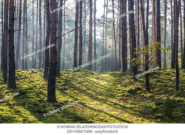 Pine trees in Kampinos Forest, large forests complex in Masovian Voivodeship of Poland