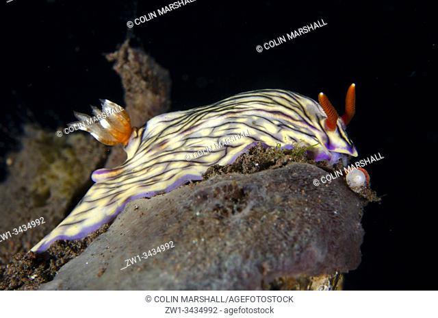 Black-striped Hypselodoris Nudibranch (Hypselodoris nigrostriata, Chromodorididae Family), Melasti dive site, Seraya, Kubu district, Karangasem, Bali, Indonesia
