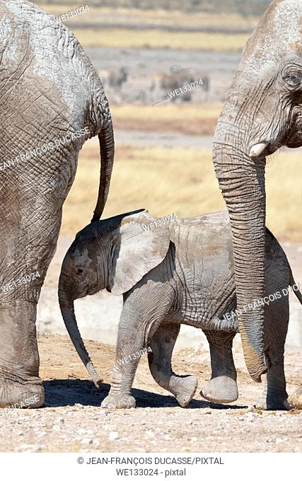 African elephants (Loxodonta africana), one baby surrounded by two adults, walking at Newbroni waterhole, Etosha National Park, Namibia, Africa
