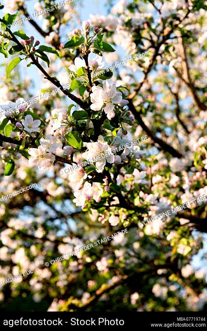 Spring, blossoming tree