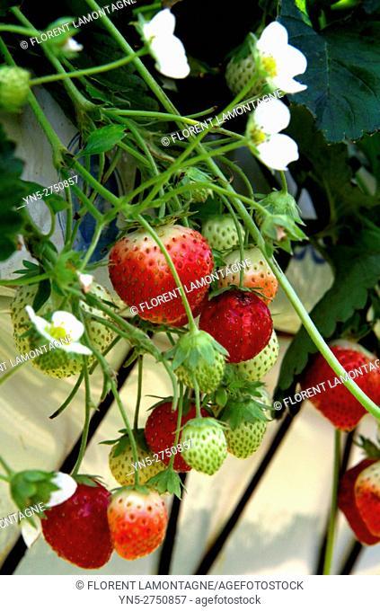 Strawberry fruits 'Mount Everest'