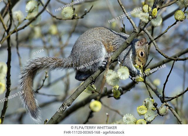 Eastern Grey Squirrel Sciurus carolinensis adult, feeding on willow buds in urban garden, Greater Manchester, England